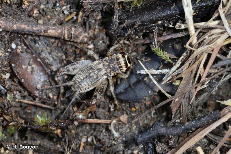 Eumodicogryllus bordigalensis