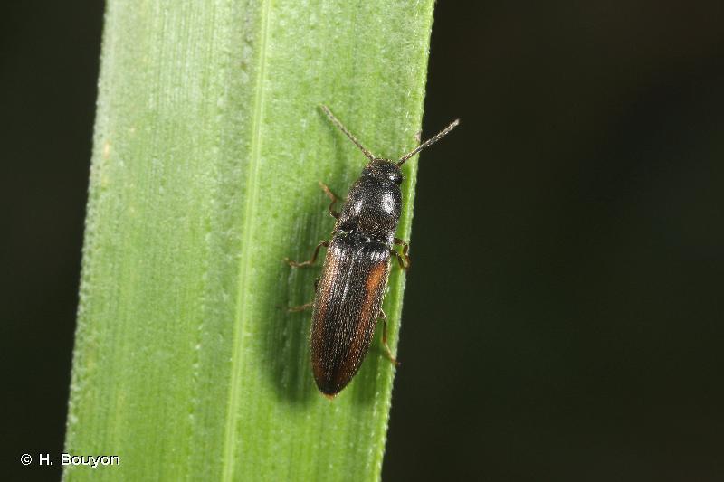Idolus picipennis
