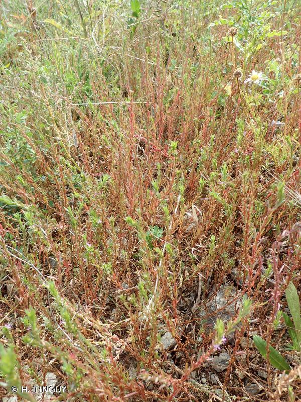 Lythrum thymifolium