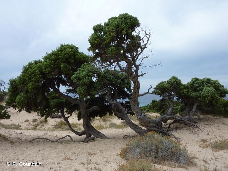 B1.7 - Dunes côtières boisées - EUNIS