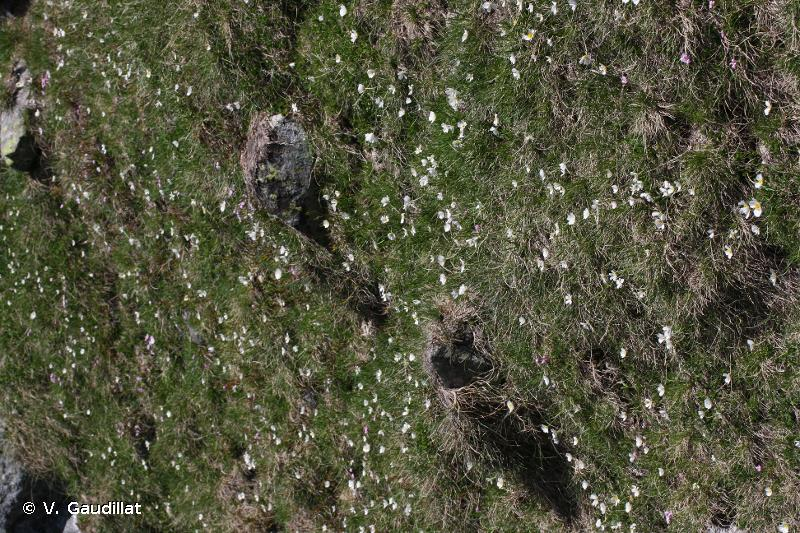 6140 - Pelouses pyrénéennes siliceuses à <em>Festuca eskia</em> - Cahiers d'habitats