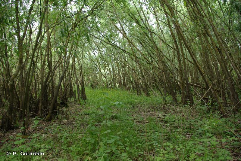 F9.2 - Saussaies marécageuses et fourrés des bas-marais à <em>Salix</em> - EUNIS