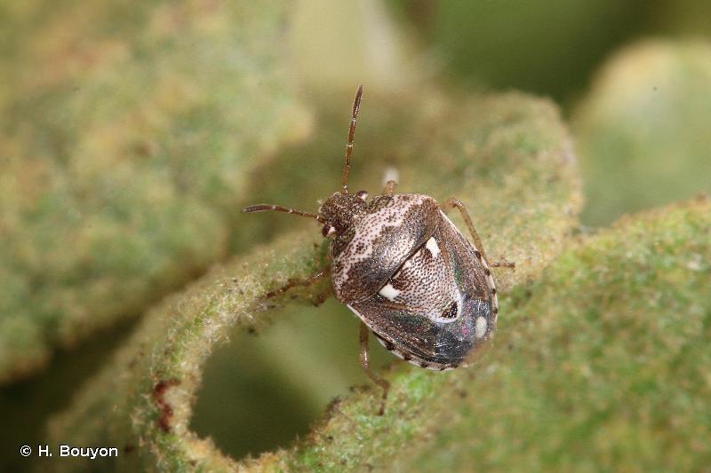 Stagonomus bipunctatus bipunctatus
