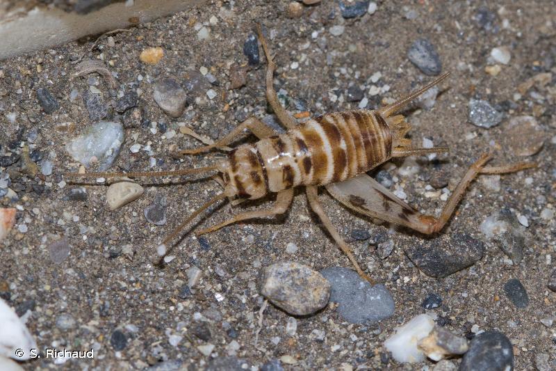 Gryllomorpha uclensis