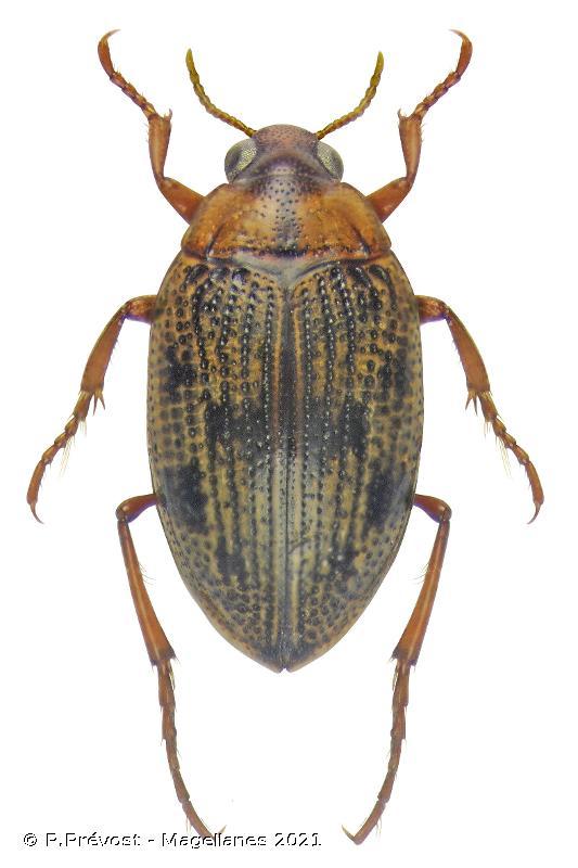 Haliplus lineatocollis