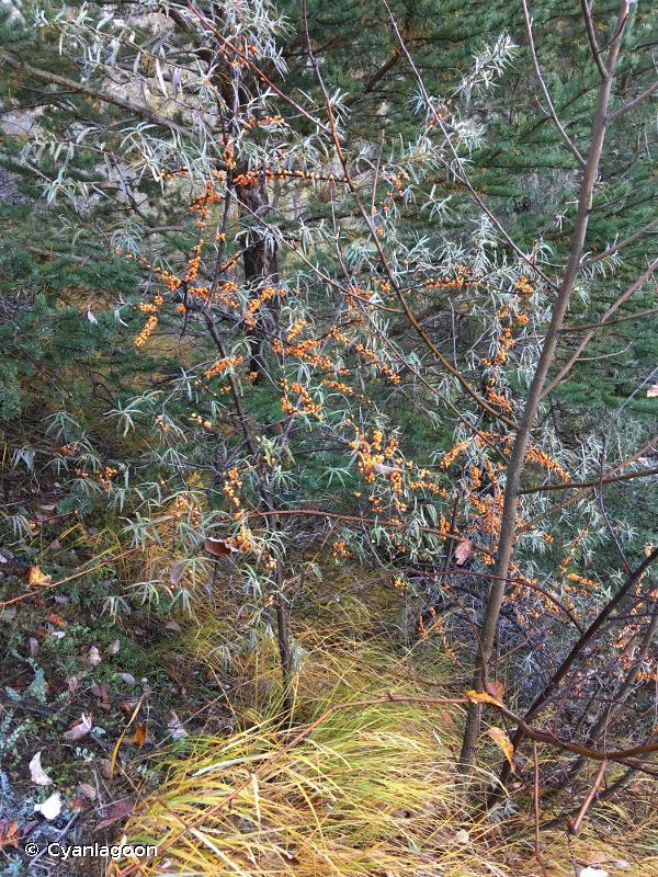 Hippophae rhamnoides subsp. rhamnoides