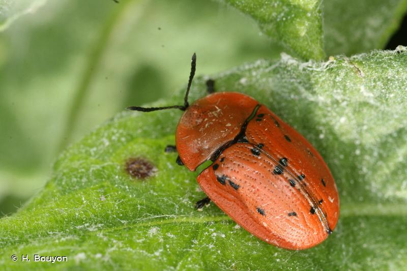 Cassida murraea