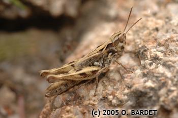 Chorthippus corsicus