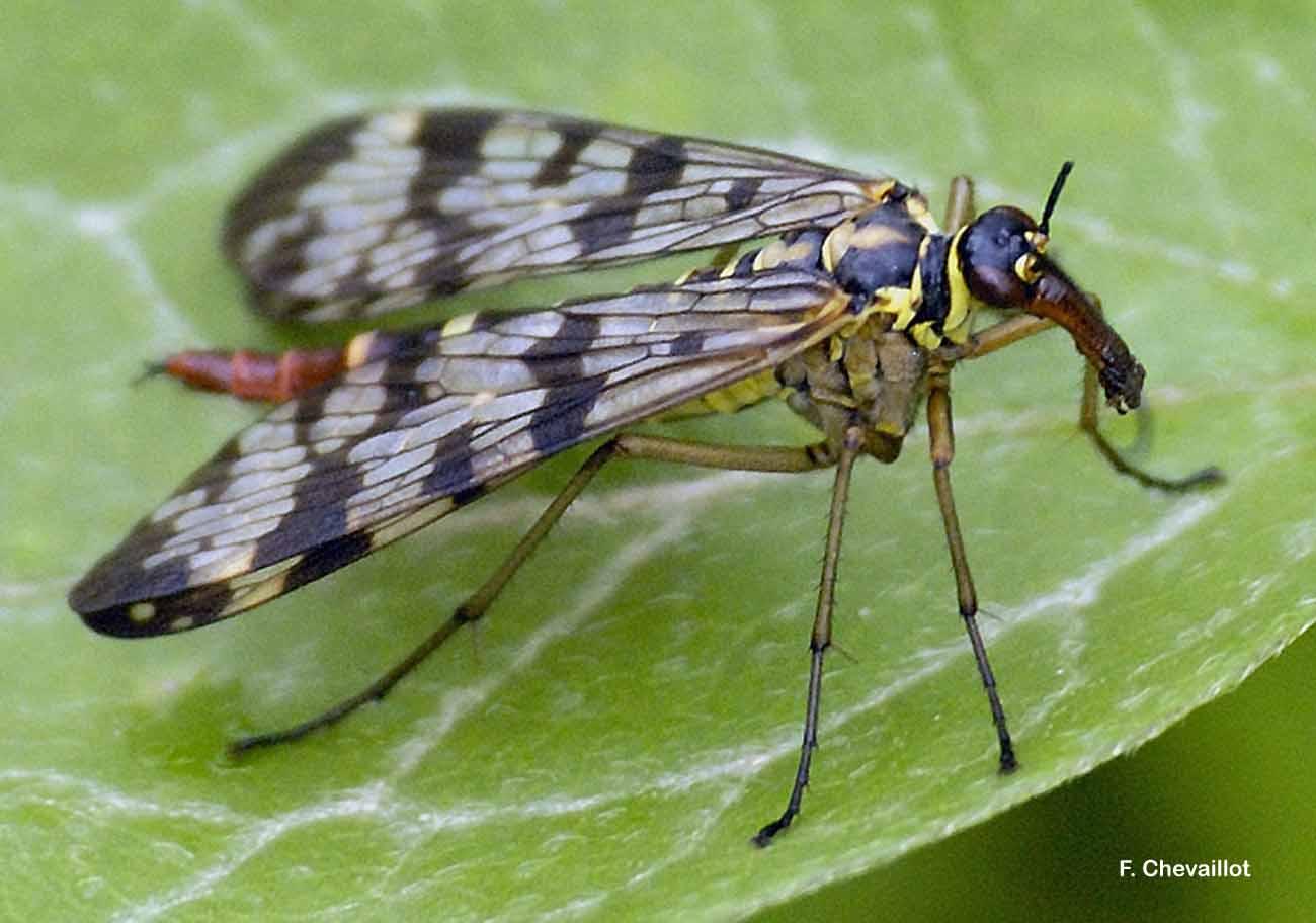 Panorpa vulgaris