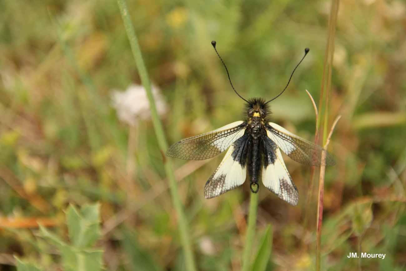 Libelloides lacteus