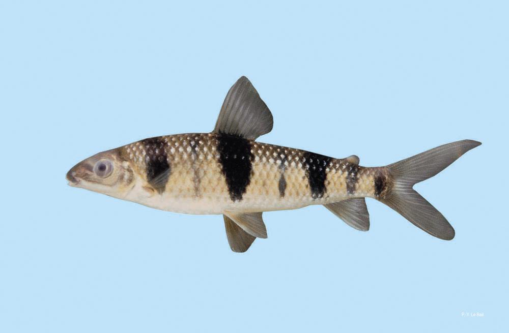 Лепорин пятнистый (Leporinus maculates), фото фотография аквариумные рыбы