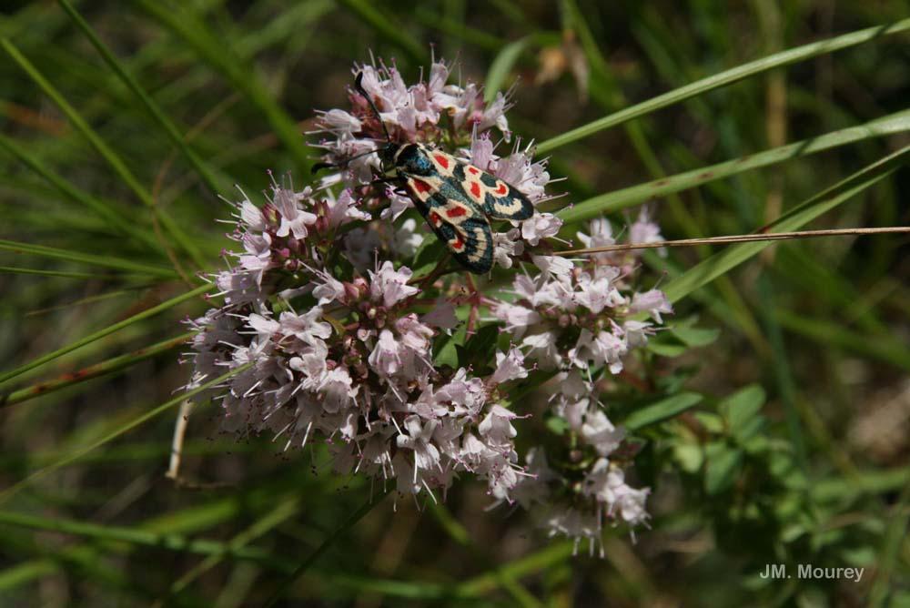 Zygaena occitanica