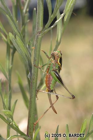 Eupholidoptera tyrrhenica