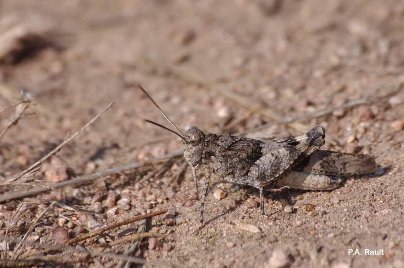 Oedipoda caerulescens