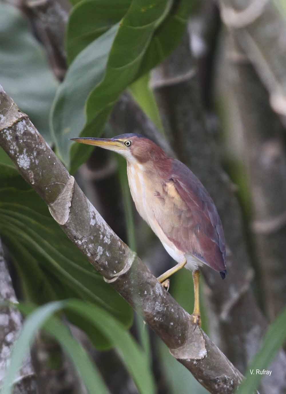 Ixobrychus exilis