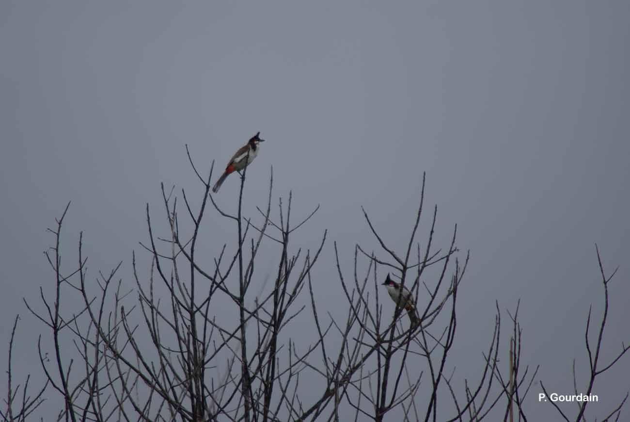 Pycnonotus jocosus