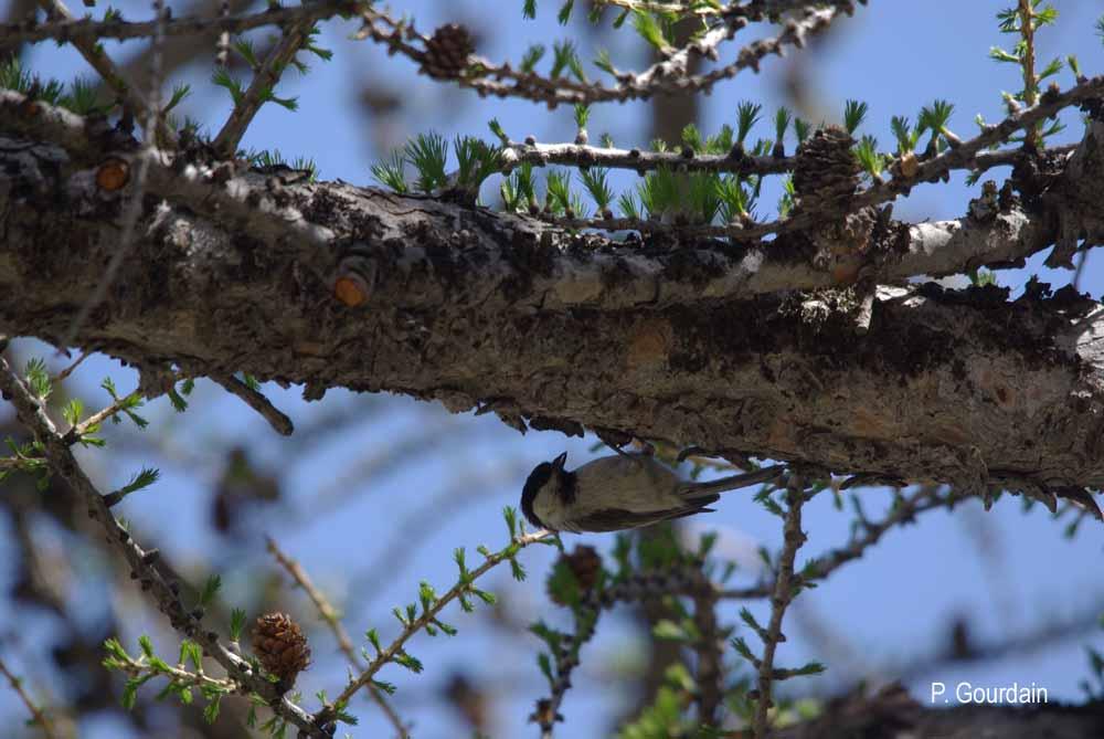 Parus montanus