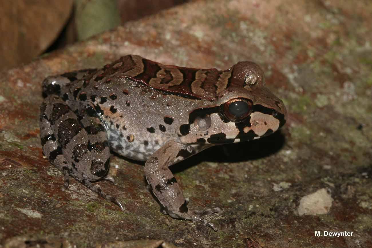 Leptodactylus knudseni