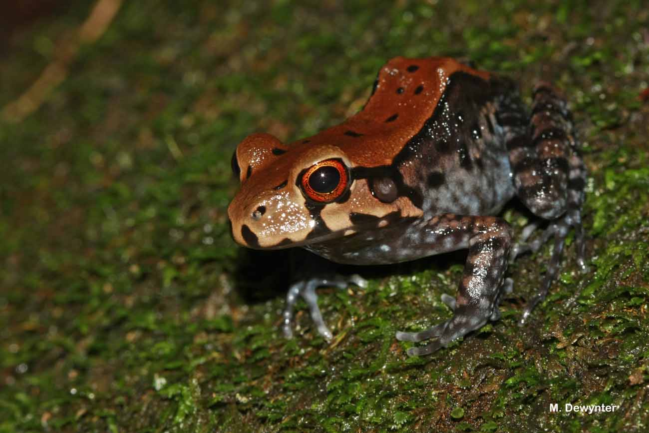 Leptodactylus stenodema