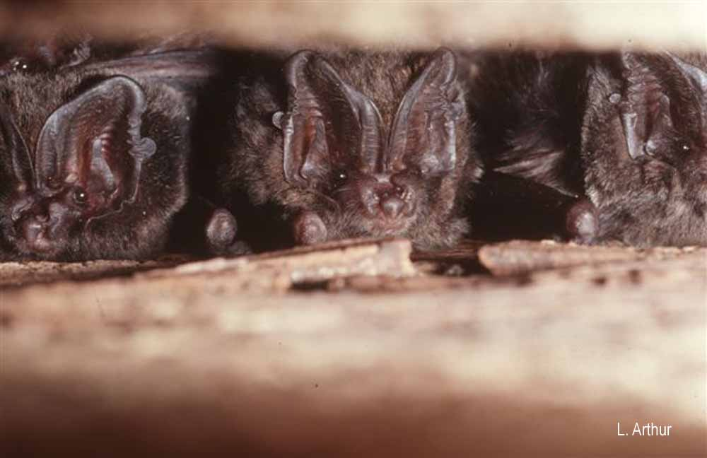 Barbastella barbastellus