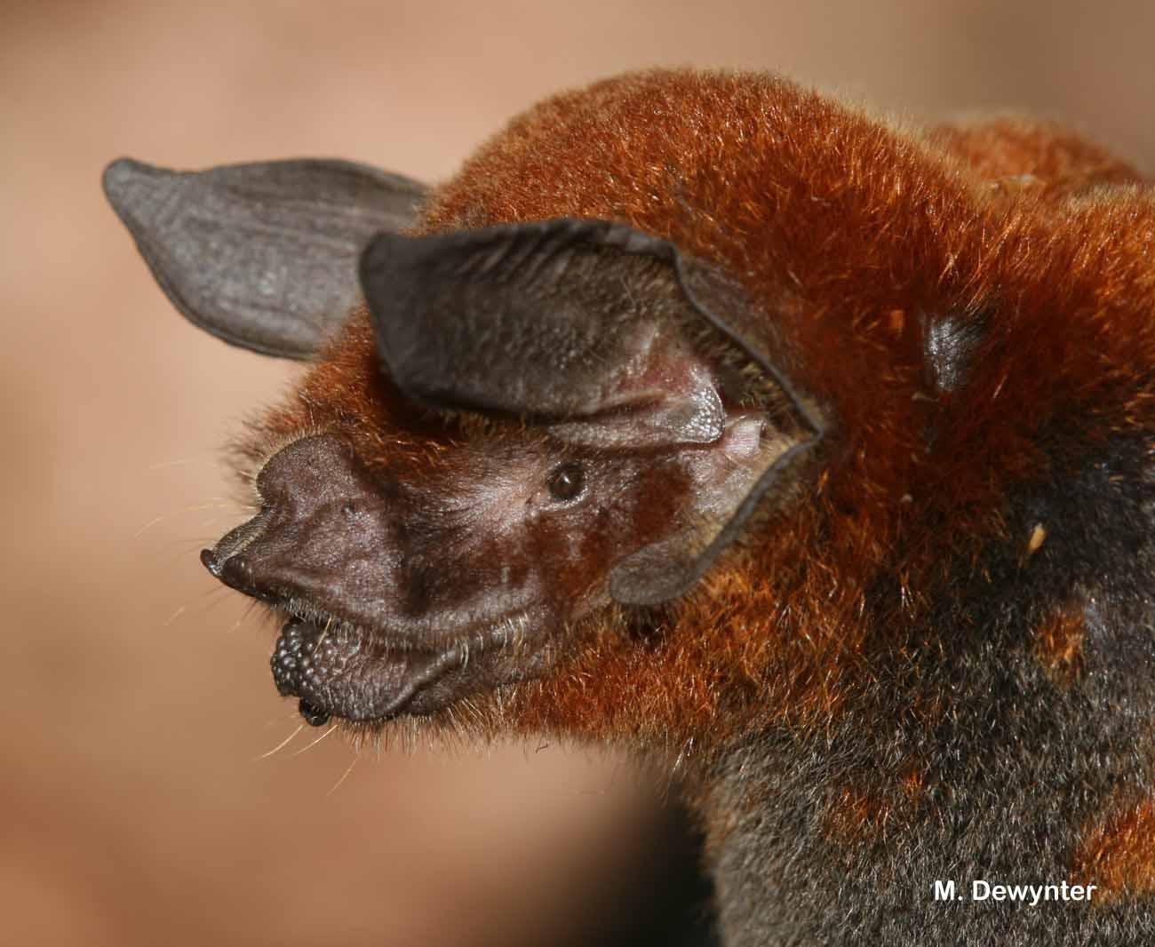 Pteronotus rubiginosus