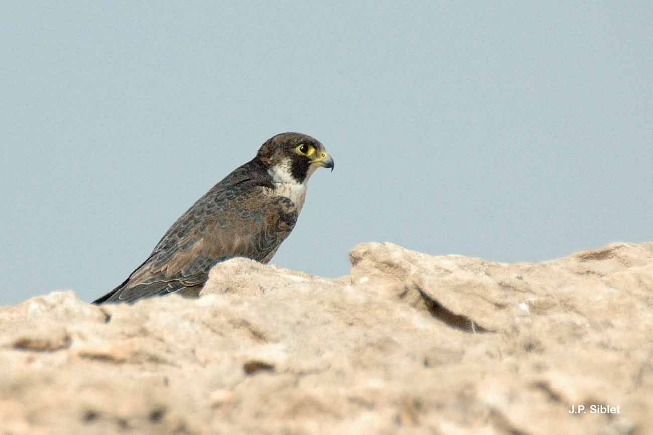 Falco peregrinus calidus