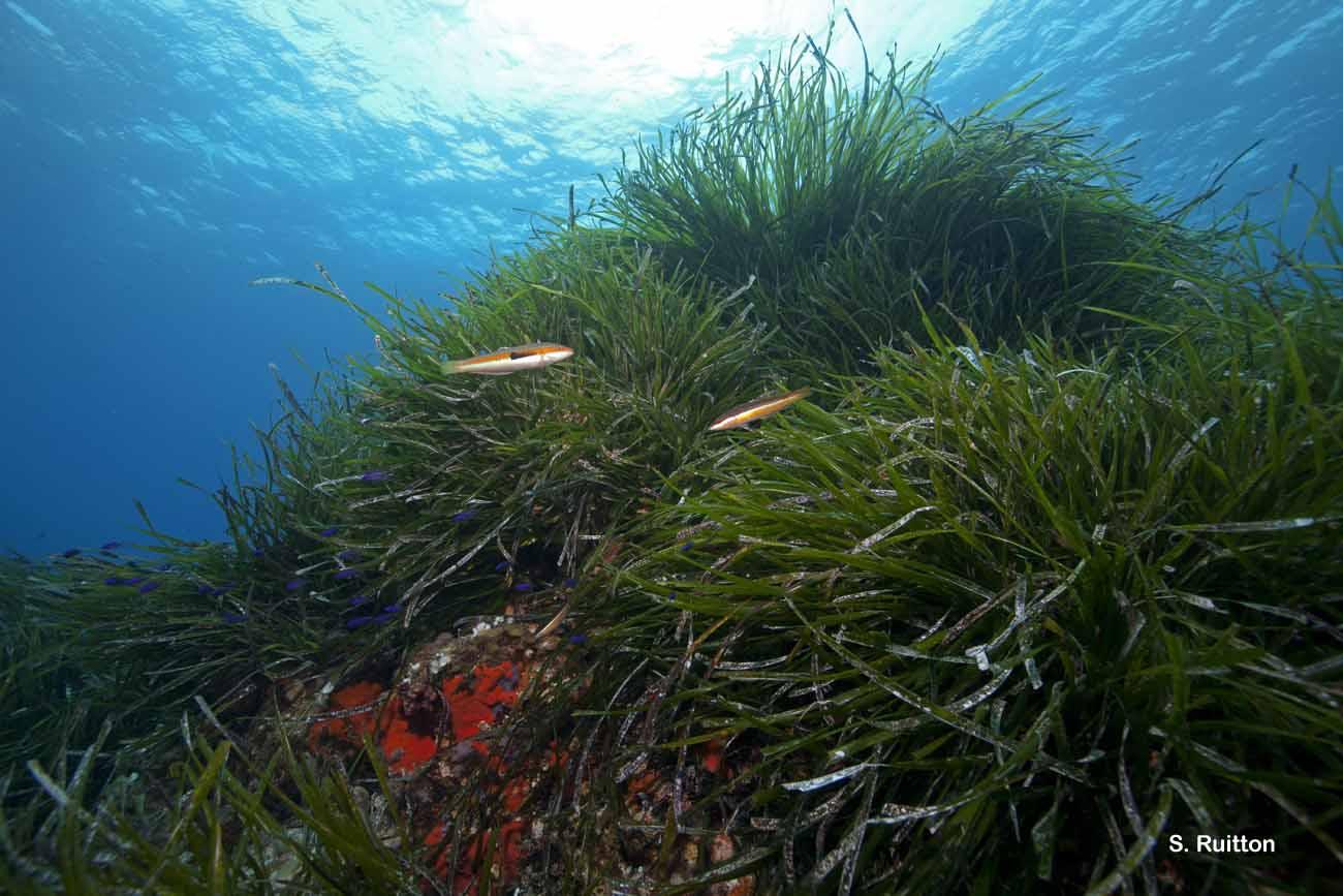 III.5.1.  - Herbier à <em>Posidonia oceanica</em> (= Association à <em>Posidonia oceanica</em>) - Convention de Barcelone