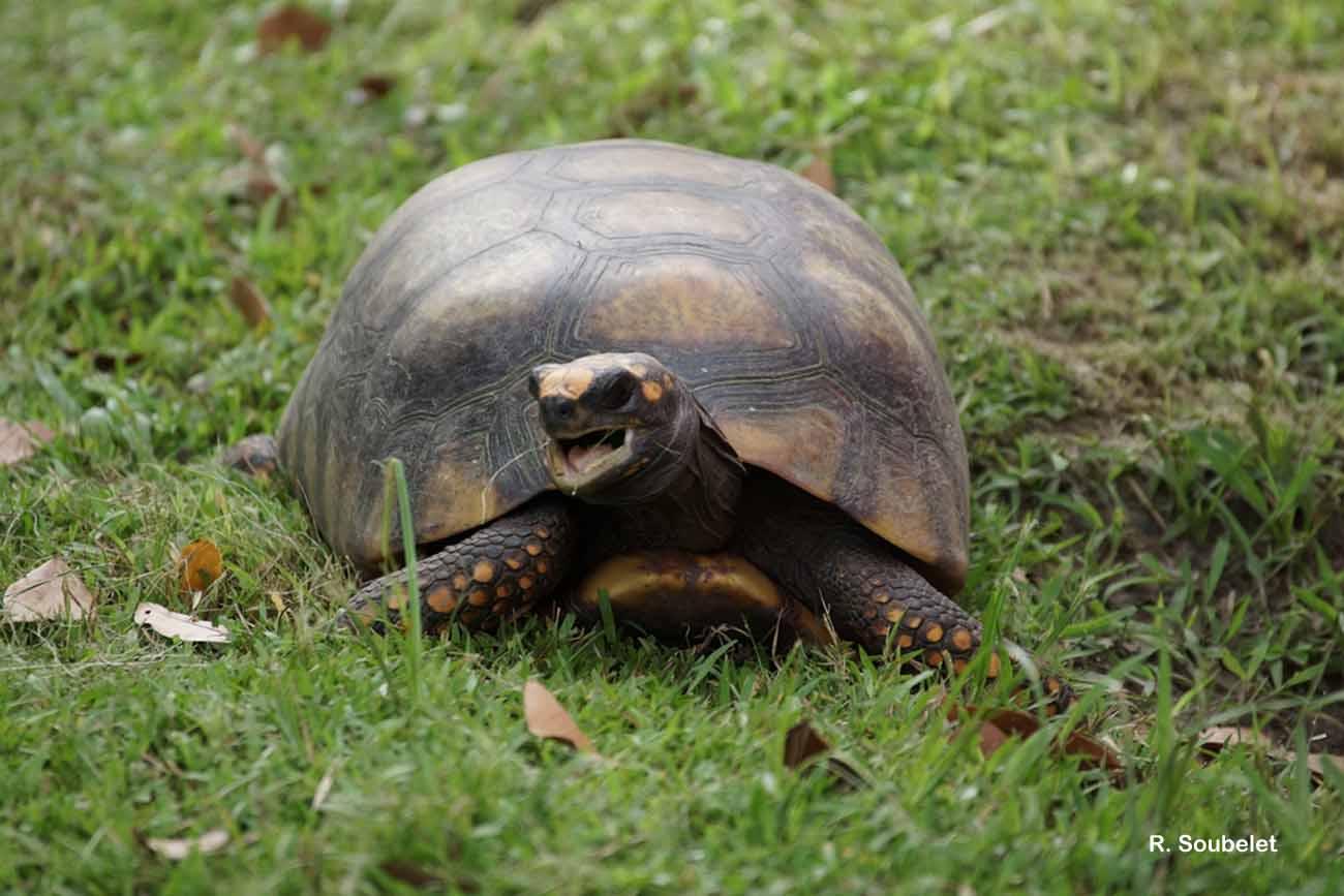 Chelonoidis denticulatus