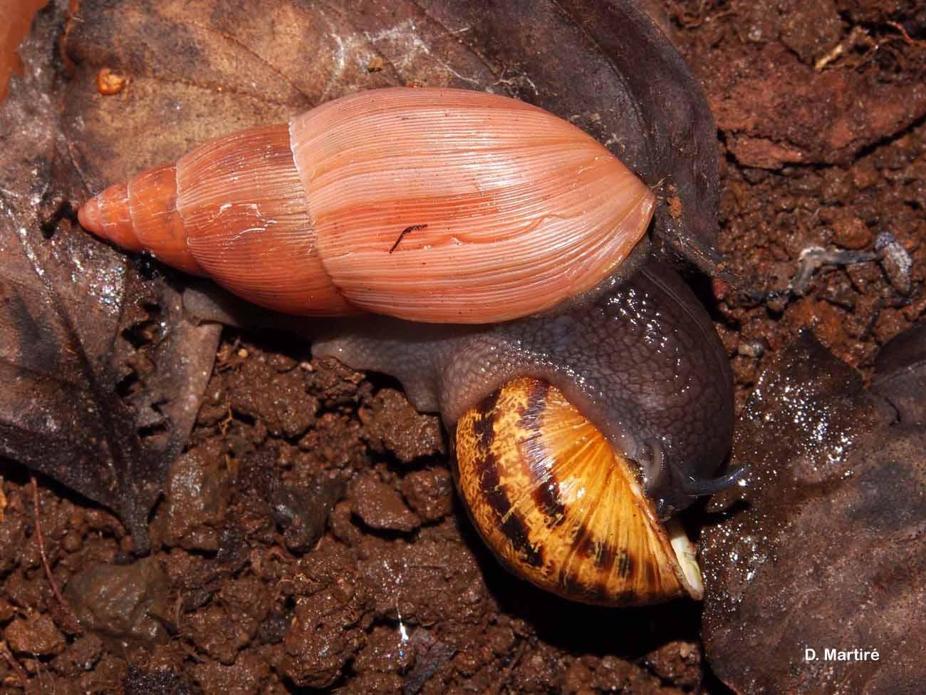 Euglandina rosea
