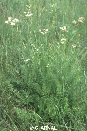 Dichoropetalum carvifolia