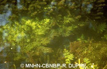 Oenanthe fluviatilis