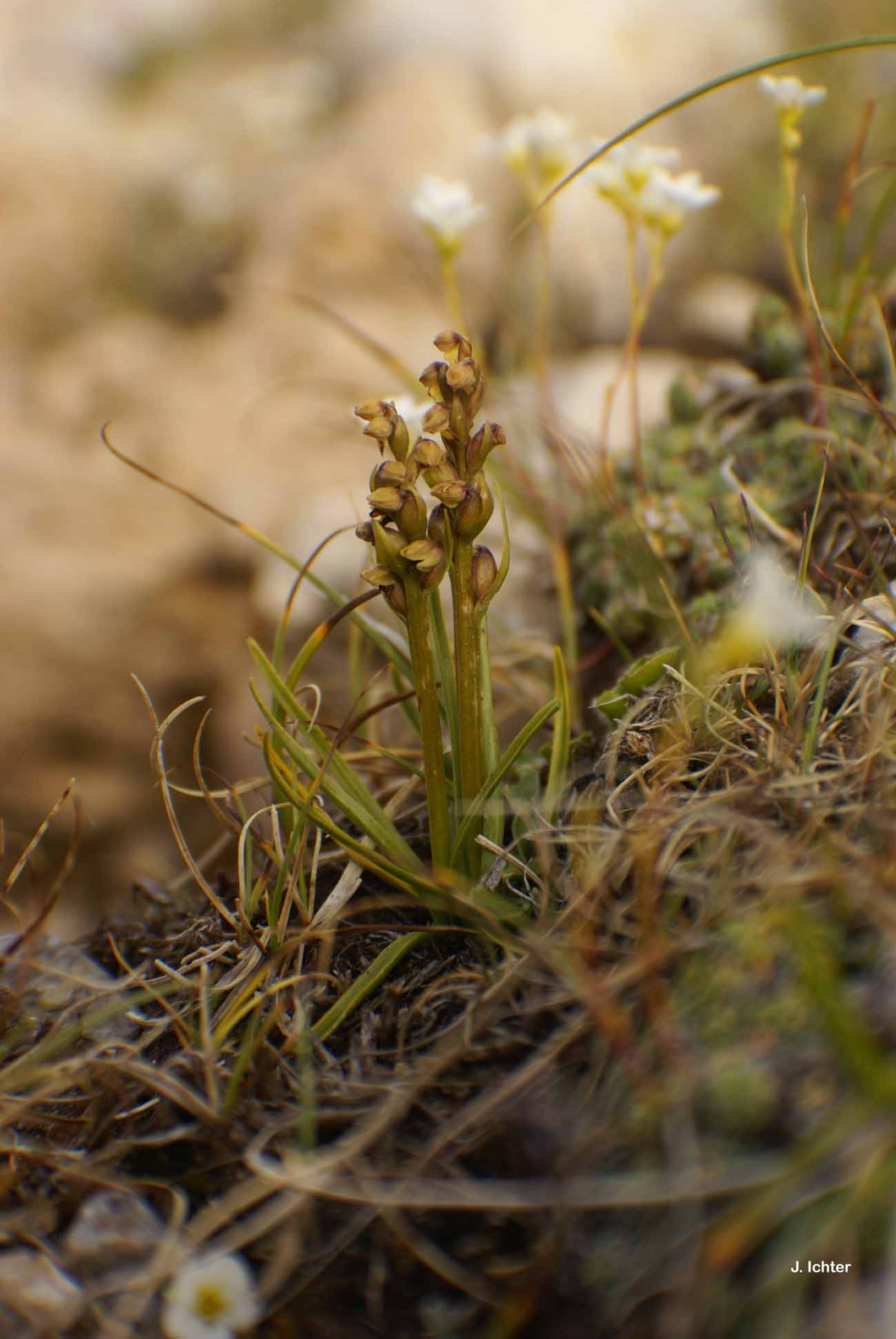 Chamorchis alpina