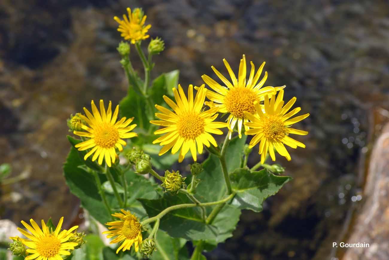 Doronicum corsicum