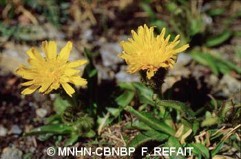 Crepis rhaetica