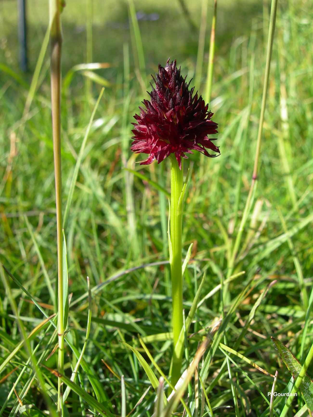 Gymnadenia nigra