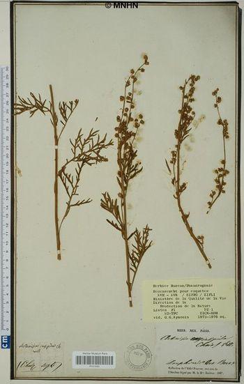 Artemisia insipida