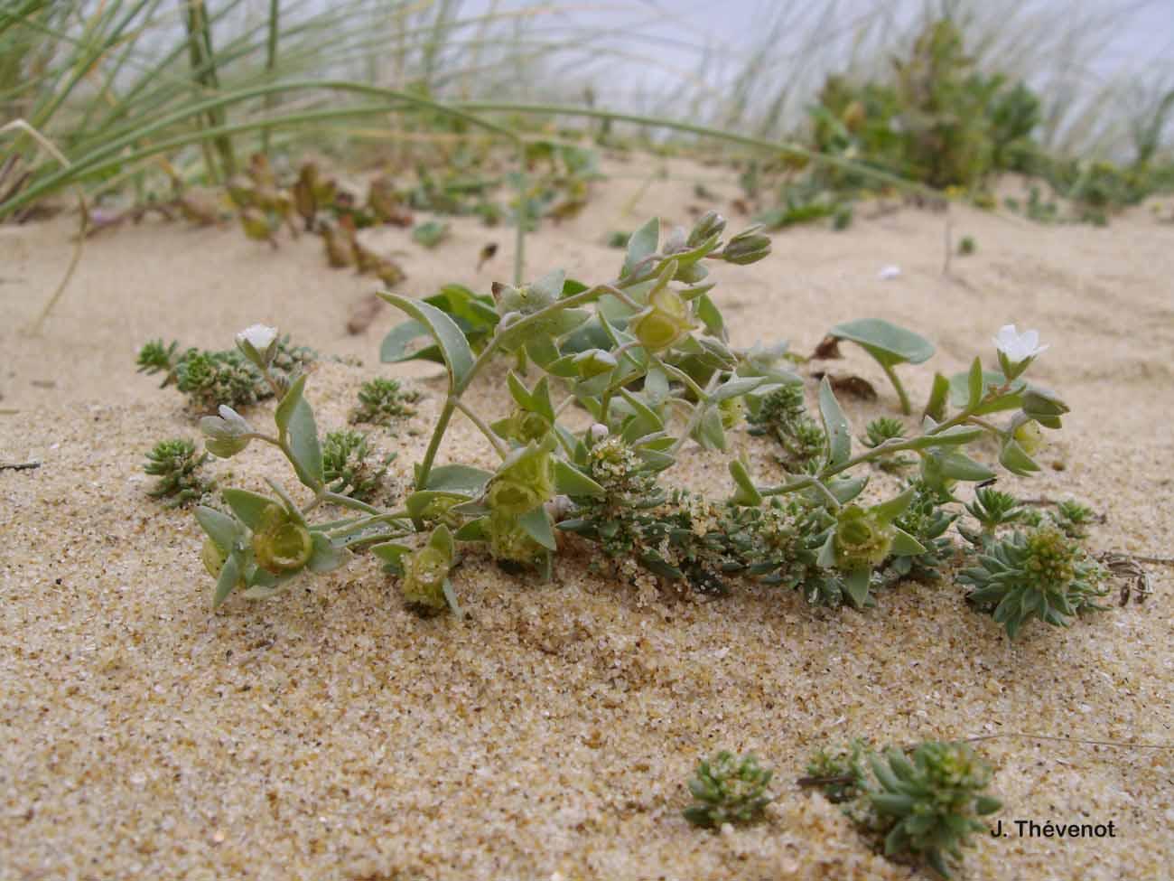 Omphalodes littoralis