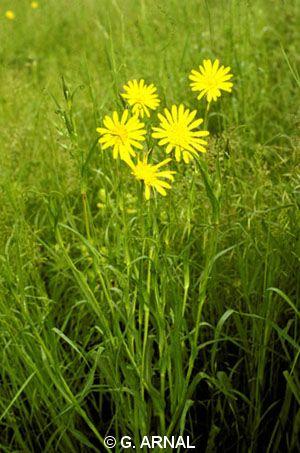 Tragopogon pratensis subsp. orientalis
