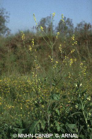 Brassica nigra