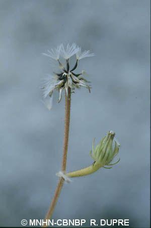 Picris pauciflora