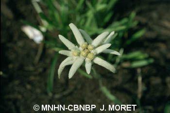 Leontodon hispidus subsp. alpinus