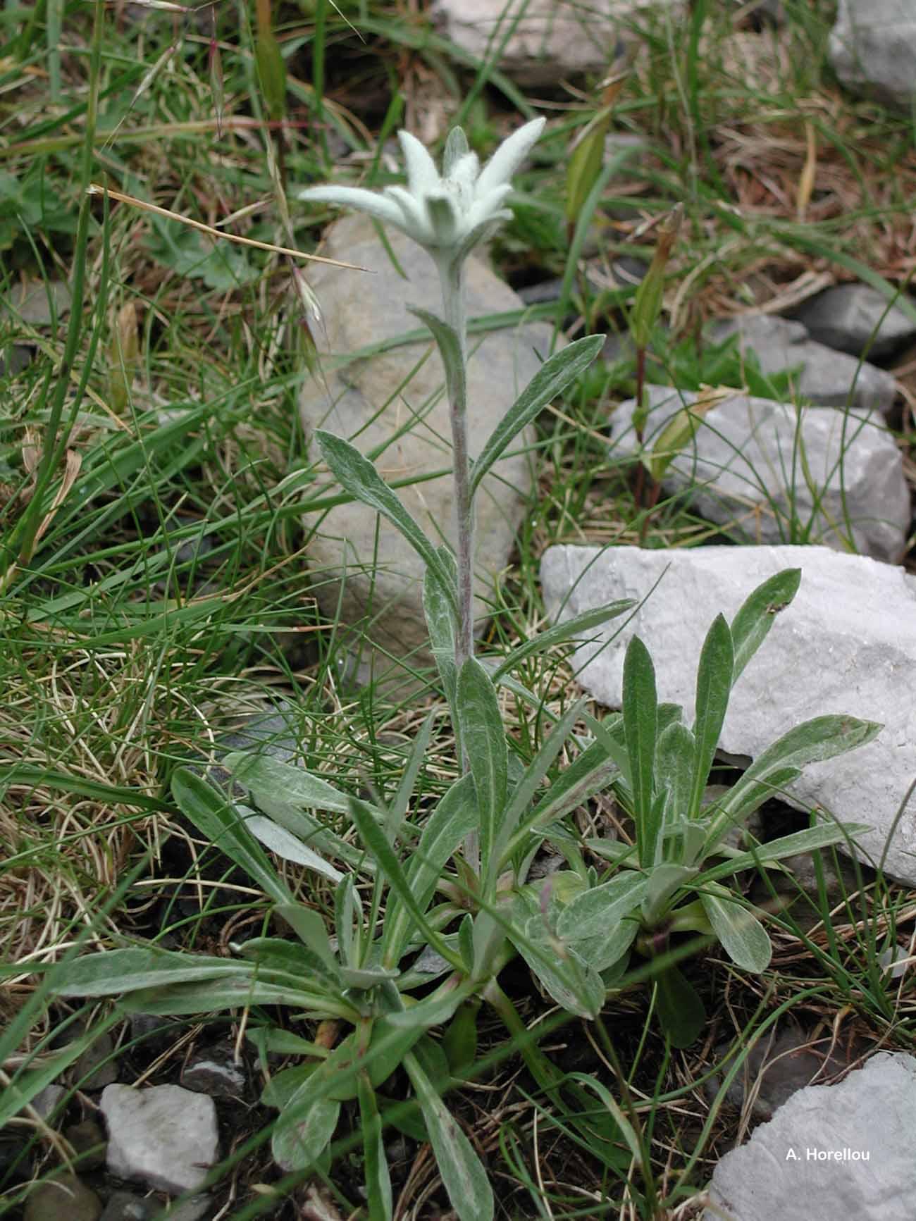Leontopodium nivale