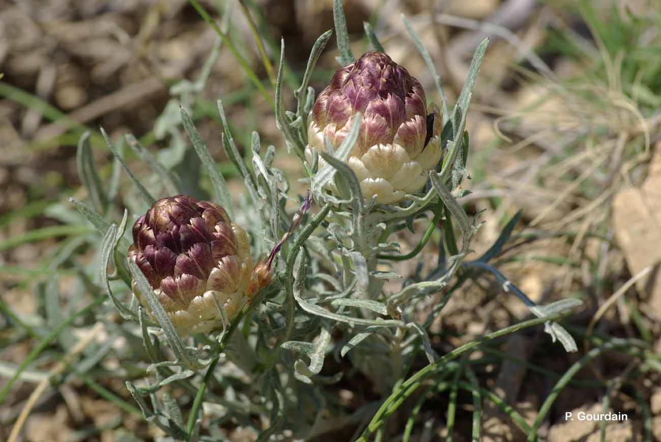 Rhaponticum coniferum