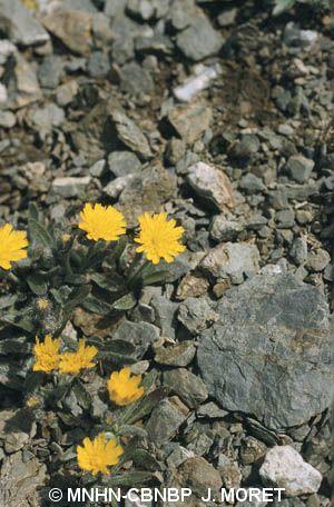 Pilosella breviscapa