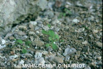 Myosotis speluncicola