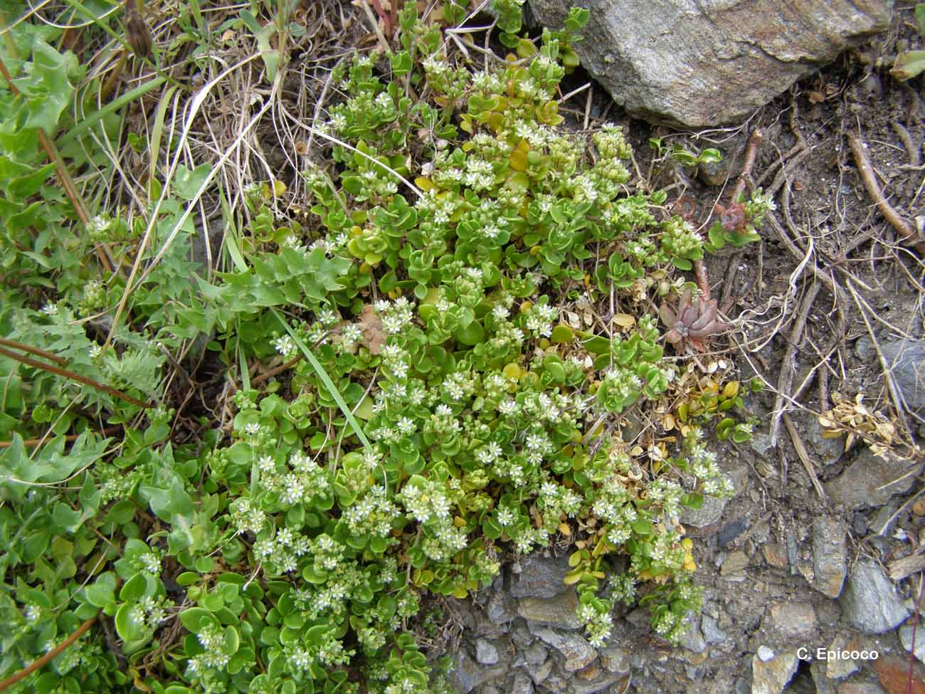 Polycarpon polycarpoides subsp. catalaunicum