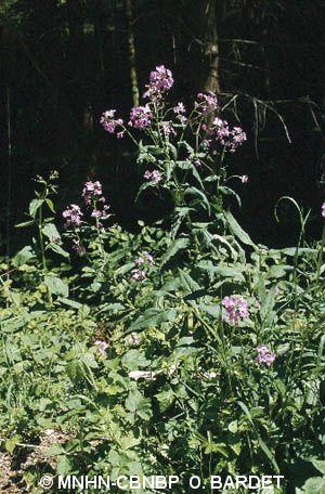 Hesperis matronalis