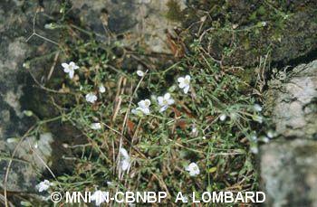 Arenaria ligericina