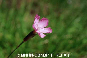 Dianthus saxicola