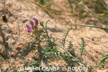 Astragalus baionensis